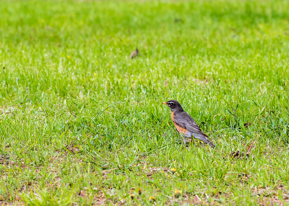 animal photography bird robin on the ground
