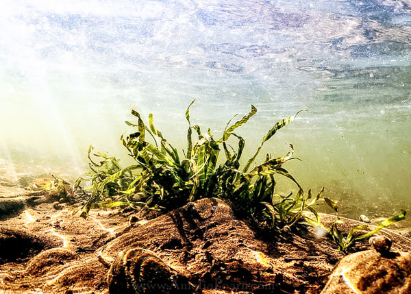 Underwater photography aquatic plants in the Upper Delaware River Region