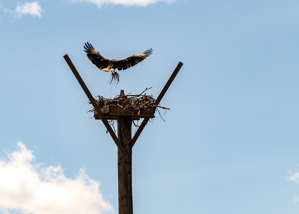 animal photography osprey landing on it's nest