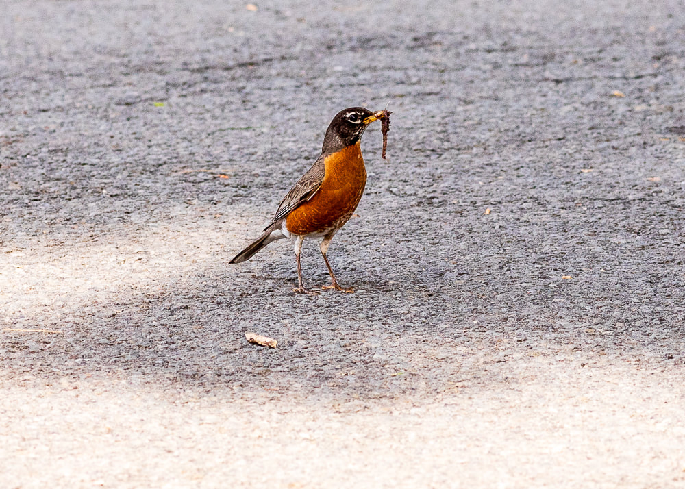 animal photography robin bird with a worm
