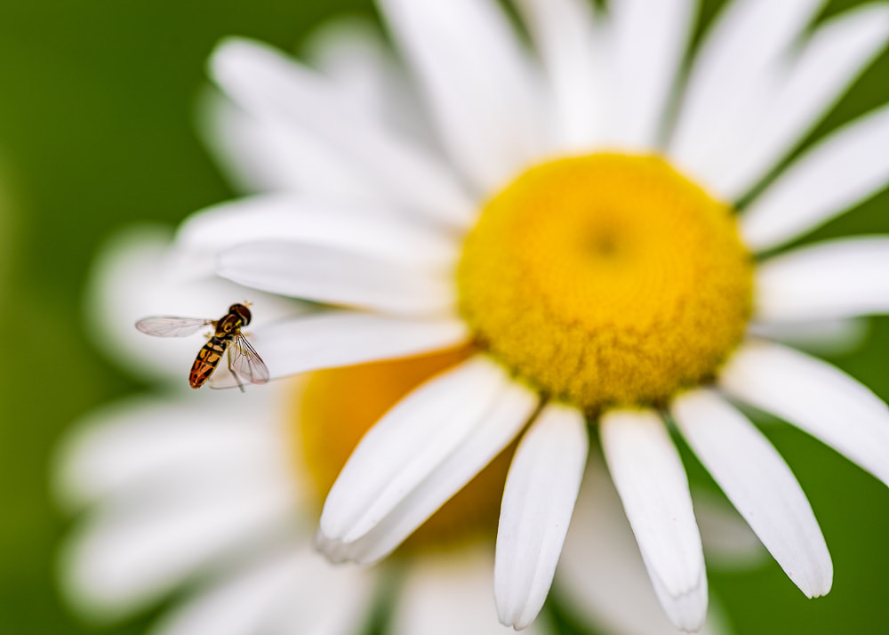 animal photography insect on a daisy flower