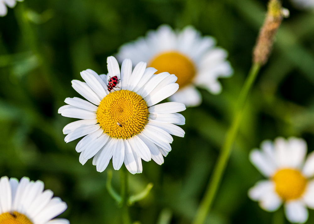 animal photography ladybug on a daisy