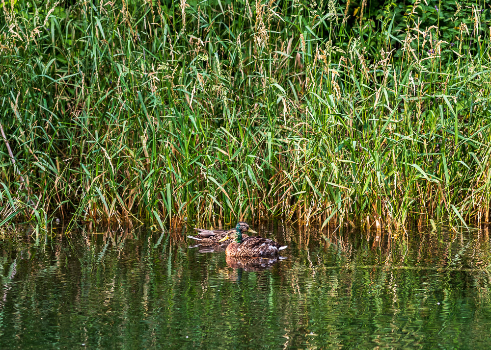 animal photography ducks in a pond