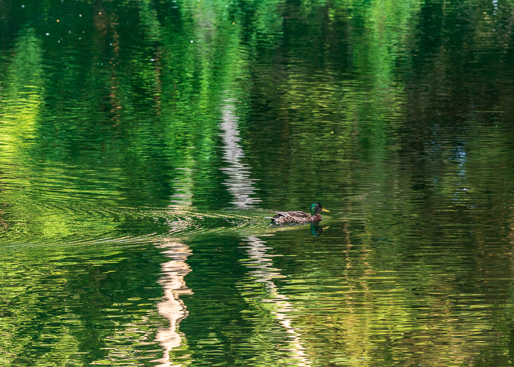 animal photography duck in the pond reflecting water