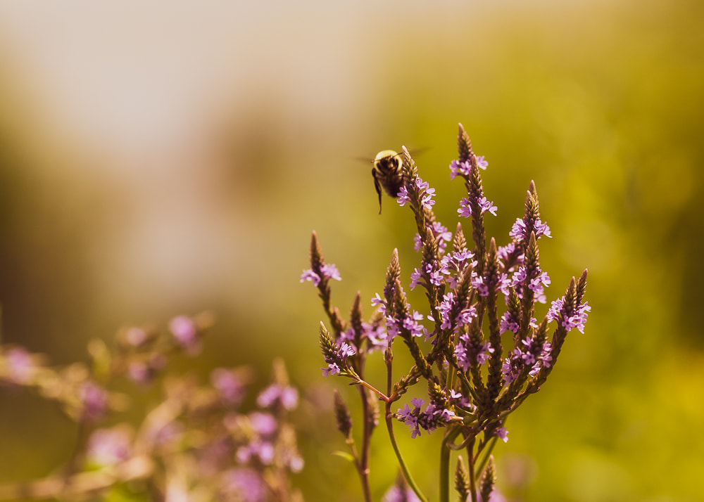 animal photography bee flying to flowers