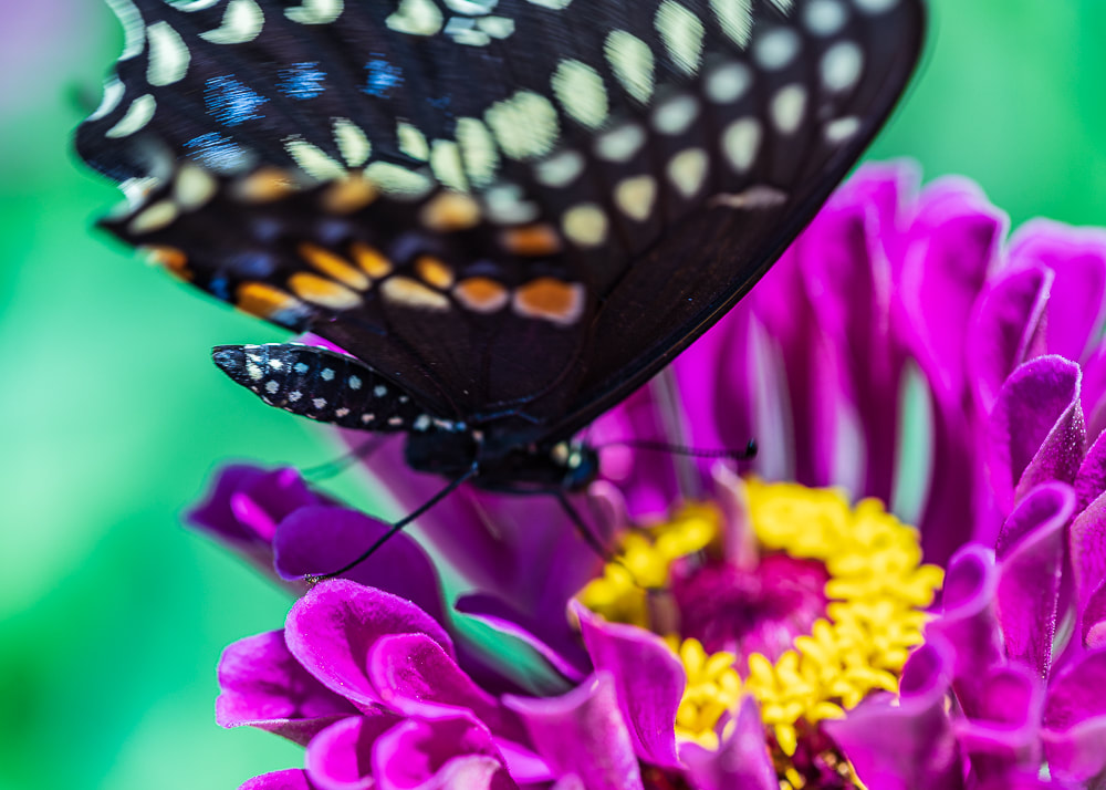 animal photography butterfly pollinator on flower