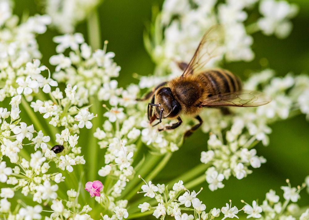 animal photography honey bee on a flower