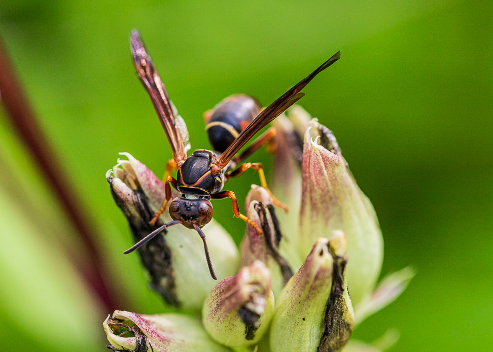animal photography wasp insect macro